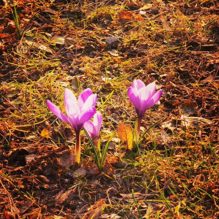 #krokusy #kwiaty w Parku Południowym ⭐ #wroclawska #wiosna jest #radosna ⭐ #natura #nature #spring #crocuses ⭐ #wroclaw #wroclove #dolnoslaskie #polska #poland #lubiepolske