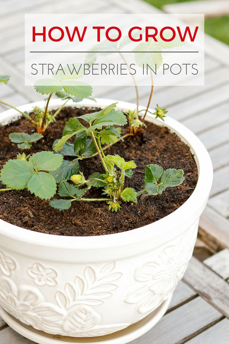 How To Grow Strawberries In Containers -- learn all about planting and growing strawberries in pots... Perfect for growing berries in colder climates! | via @unsophisticook on unsophisticook.com