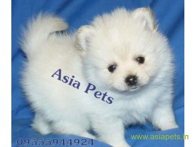 Pomeranian Pups Price In Jaipur Pomeranian Pups For Sale In