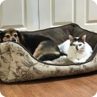 Dumfries, VA - Beagle Mix. Meet Annie, a dog for adoption. http://www.adoptapet.com/pet/18744472-dumfries-virginia-beagle-mix
