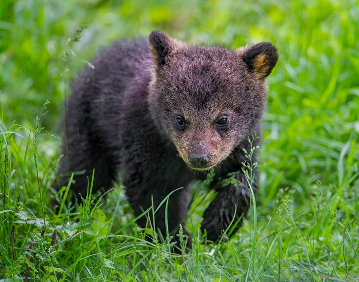 Baby Steps - This is a young bear cub photographed at Parc Omega, Montebello, Quebec Canada with a Nikon D3s and a handheld Nikon 600 mm lens. It was such a treat to see the bear cubs climbing trees.