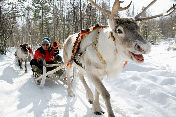 Reindeer Safari to Husky Farm...then a fab very fast Husky sled ride!   Activities in Saariselkä http://www.saariselka.com/individual/activities/