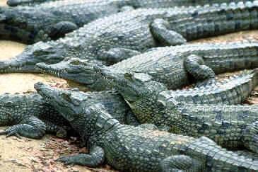438 Best Alligators