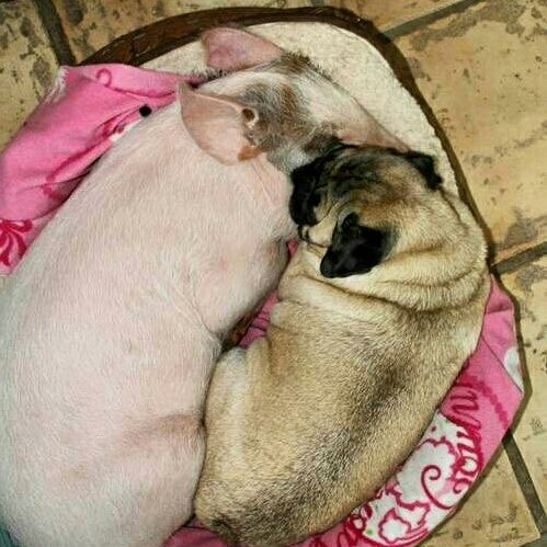 """""""This is my brother Bacon.""""    www.jointhepugs.com  #pug #pig #pugpower #pugsnotdrugs #puglove #dogs #cuteness #pugs #puglover"""