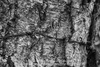 Red Heart Photography - Mono Cliffs Provincial Park - Barbed I - 2013. I love combining nature and man-made in one image, and I think that something about this barbed wire hidden the bark is both pretty and eerie. #nature #photography