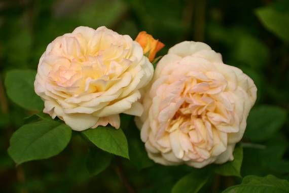 56 best images about englische rosen on pinterest radios. Black Bedroom Furniture Sets. Home Design Ideas