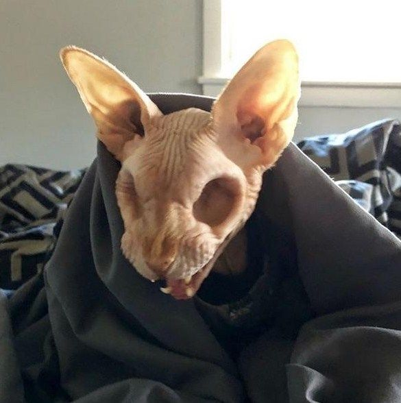 A Sphynx Cat With No Eyes Http Bit Ly 2zzhkga Hairless Cat Sphynx Cat Cute Animal Videos