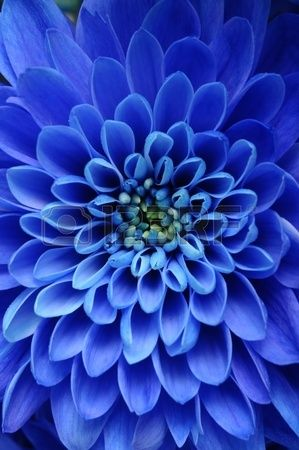 Close up of blue flower aster with blue petals and yellow heart for background or texture photo