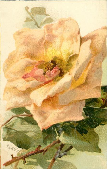 Vintage peach rose postcard by Catherine Klein
