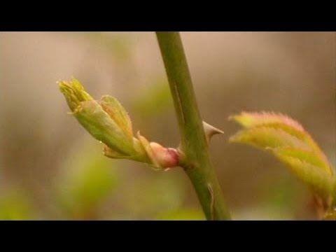 Выращивание роз из черенков - КИЛЬЧЕВАНИЕ