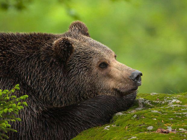 Ours brun, milan royal, lynx boréal... Testez vos connaissances sur les animaux qui peuplent les régions de France : http://www.geo.fr/quiz-connaissez-vous-bien-la-faune-francaise-122828