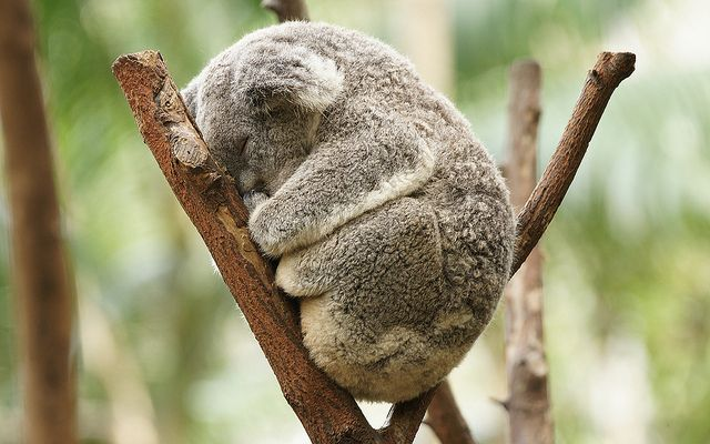 !!: Sleep Koalas, Aww, Cute Animal, Pet, Naps Time, Koalas Bears, Sleepy Koalas, Adorable Animal, Furry Friends