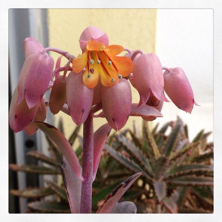 Primeira flor do meu cacto