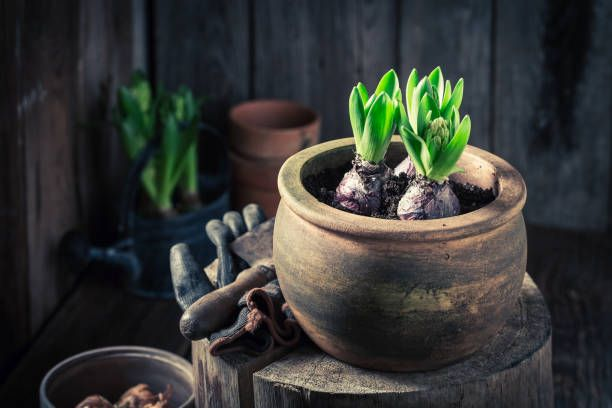 young colourful hyacinth in an old wooden workshop