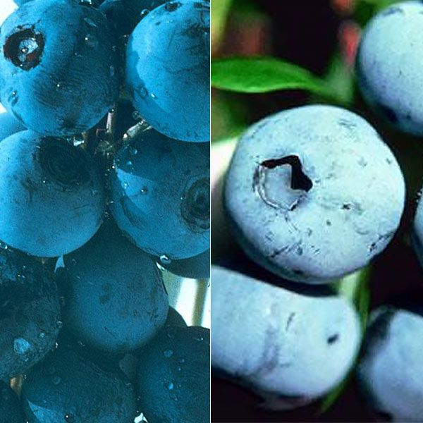 Includes blueberry varieties that are fruitful and heat-tolerant to zone 9. These southern highbush blueberry plants, like rabbiteye blueberries, are...