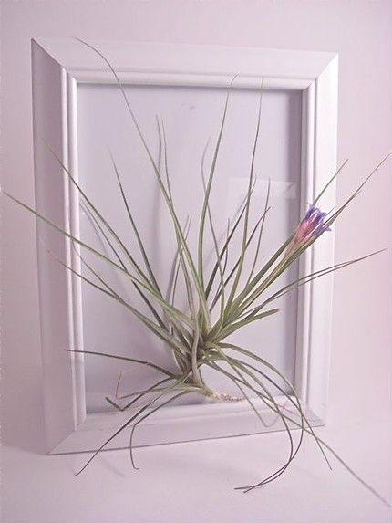 Living Art Frame/Tropical Airplant (Tillandsia)