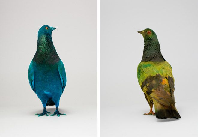 Some Pigeons Are More Equal Than Others | HUH.