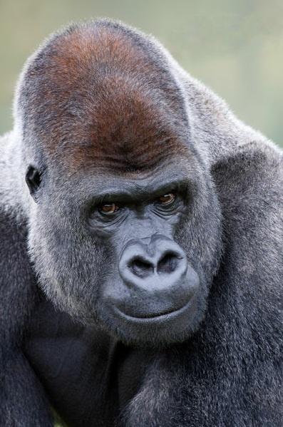 Africa |  Lowland Silverback Gorilla | © Dave Tyrer