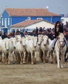 Premier grand rendez-vous des amateurs de traditions bouvines, l'Abrivado des Plages se déroule chaque année le premier samedi de mars au Grau du Roi (Gard).