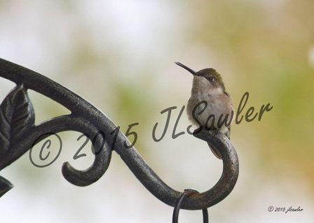 Printable Photograph Hummingbird 8 x 10 by CaerlynnArt on Etsy