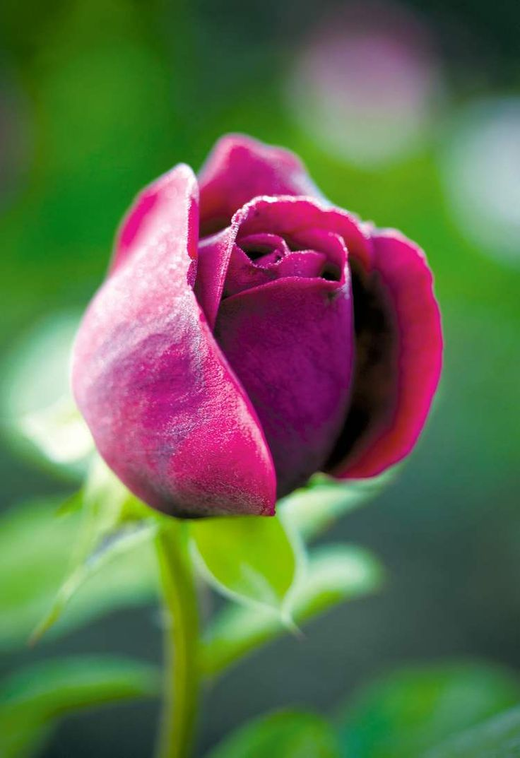 275 best Red Color images on Pinterest   Red roses, Rose trees and ...