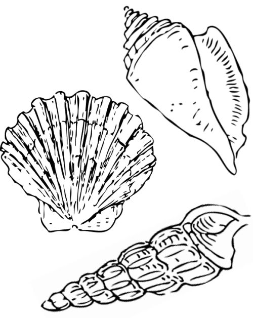 772 best images about drawing on pinterest coloring for Shells coloring page