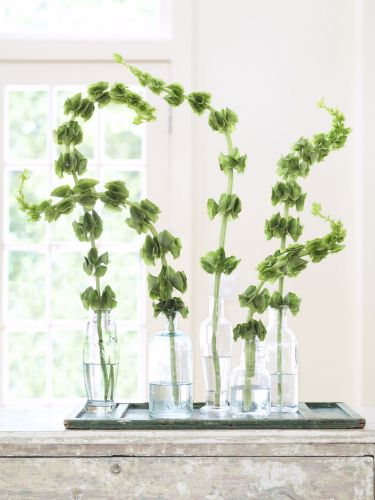 A member of the mint family, aromatic bells of Ireland are prized for their sinuous stalks and distinctive funnel-shaped leaves, which surround tiny white blossoms. Emphasize their shapeliness and delicate coloring by adding single stems to empty olive oil bottles, then group them on a rustic, green-painted window shutter.  - GoodHousekeeping.com