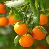 Meyer Lemon Trees - Meyer Lemon Tree for Sale | Fast Growing Trees