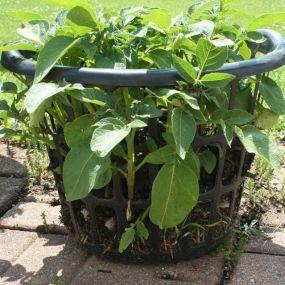 Growing potatoes in a dollar store laundry basket! Love It : )