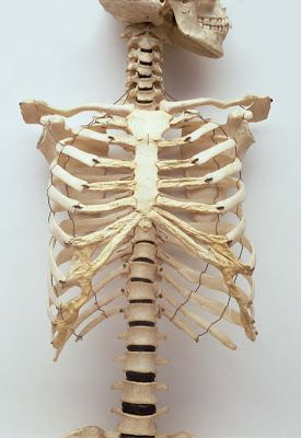 the human rib cage also known as the thoracic cage is a bony and ...