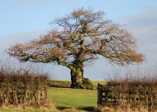 How the Woodland Trust are working to save ancient trees:  http://bit.ly/1YVgIgZ