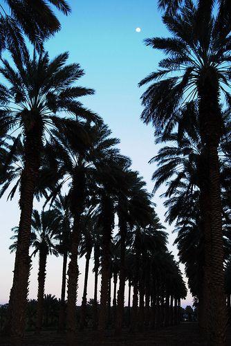 Date Palm Groves - Yuma, Arizona
