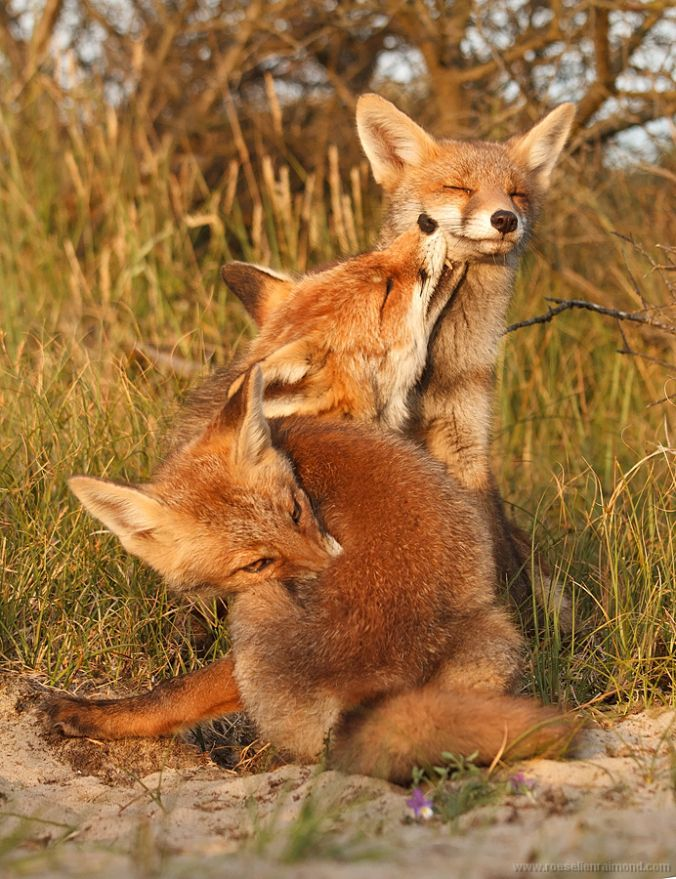 """Fox Cubs: """"Mom says there's a herb in the forest that will  kill these pesky fleas!  We'd better go and find it!"""""""