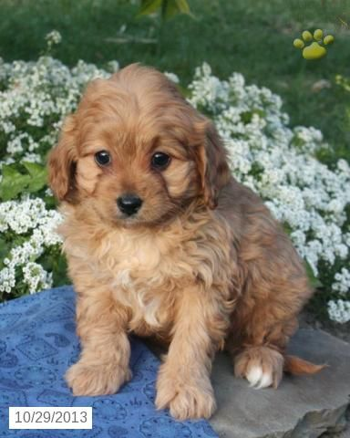 Cavapoo puppies for sale, Cavapoo puppies and Puppies for
