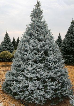 """Ель колючая Хупси (Picea pungens """"Hoopsii"""") – Хвойные деревья Буква «Е» - цветочный портал Ваш Сад!"""