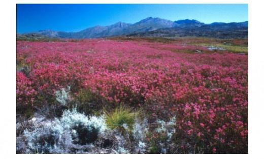 Cape heath (Erica inflata) in the Groot Winterhoek Wilderness Area, Western Cape