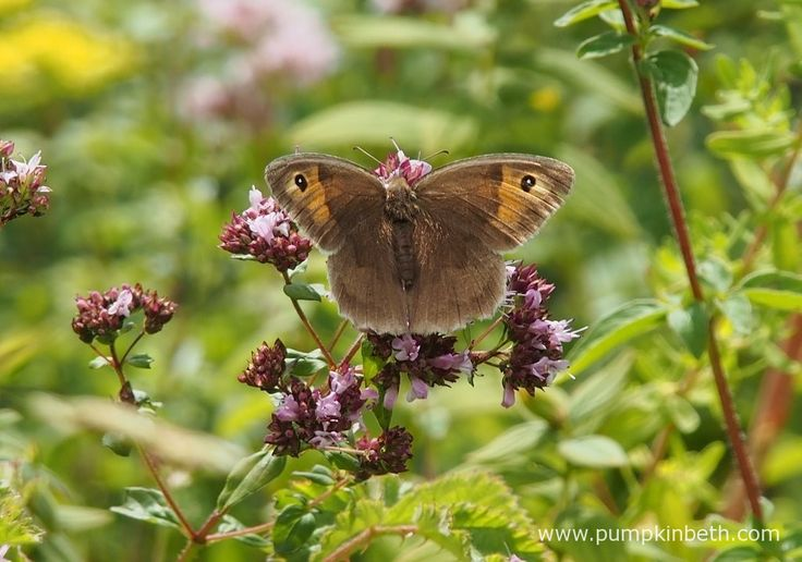 A Meadow Brown butterfly