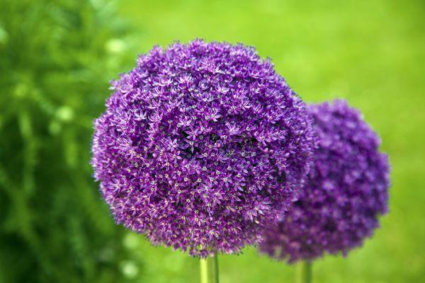 Buy ornamental onion bulbs Allium giganteum: Delivery by Crocus.co.uk