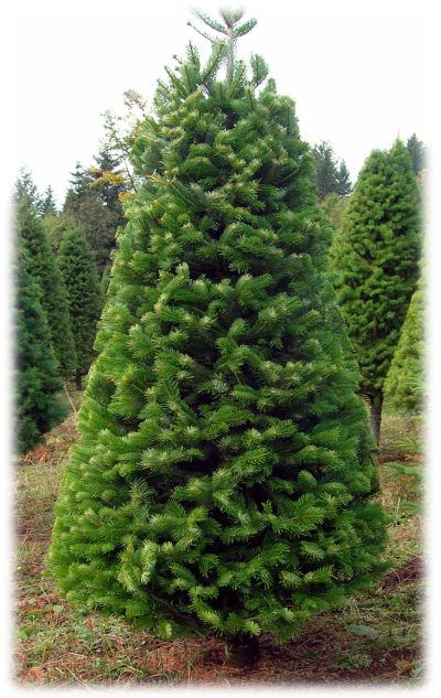 Types Of Christmas Trees Christmas Tree Types