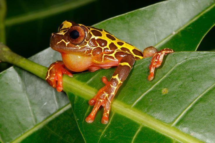 Platymantis vitiensis- Fiji tree frog reptiles \ amphibians - fresh coloring pages tree frog