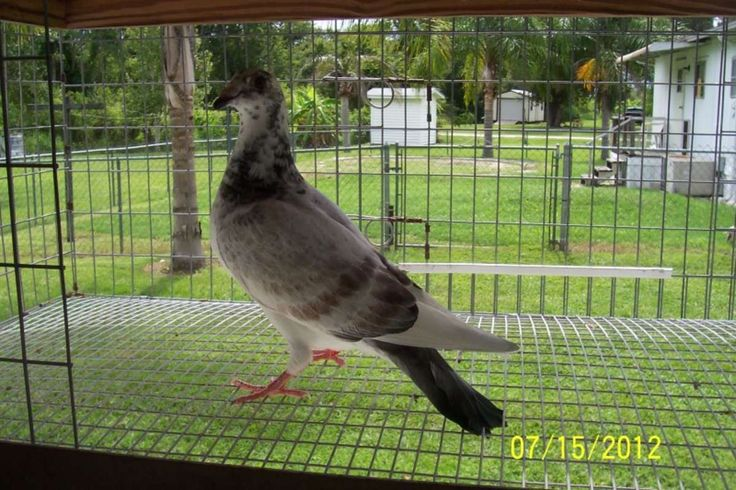 Racing Pigeons For Sale in Fort Ogden, Florida - Hoobly Classifieds