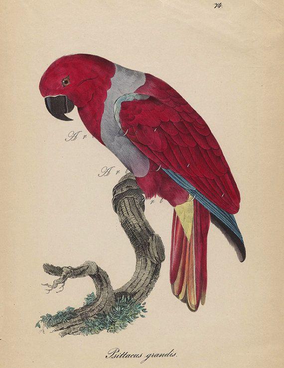antiguo loro Ilustración, imagen digital imprimible vintage para la decoración casera andmore, no.1750.