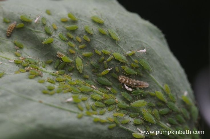 A closer look at an aphid colony present on the underside of an Lathyrus odoratus leaf. The white objects in the picture are the shed skins of the aphids, and the brown insects of varying sizes are lacewing larvae at differing stages of development.