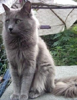 Nebelung--Med. long hair, long body, long tail, green eyes.  A creature of the mist, eerily nearly invisible at night.
