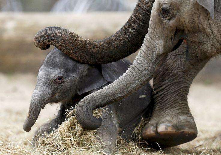 Un elefante asiático recién nacido es ayudado por su madre Farina para ponerse de pie en el parque de la fauna Pairi Daiza, un zoológico y jardín botánico, en Brugelette, Bélgica. (Reuters)