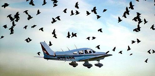 Why birds crash into planes and cars like a deathwish