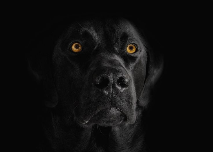 my black labrador