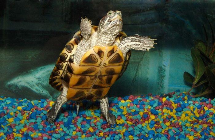 tartarughe-dacqua-alimentazione