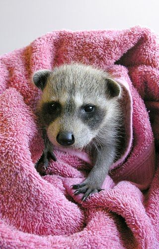 baby raccoon... i wish i had another one of these. i miss havin one. theyre so cute.
