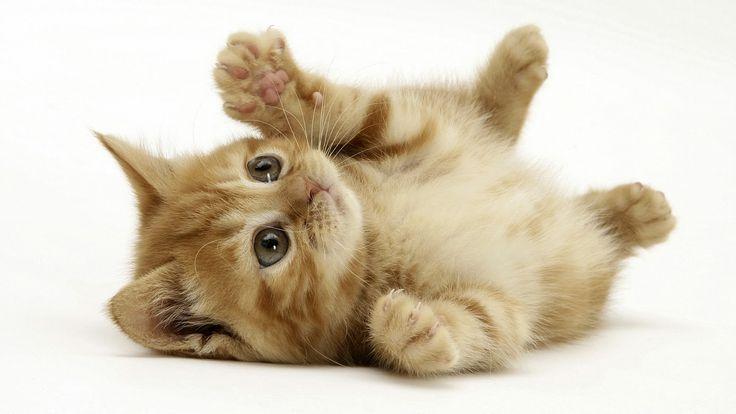 En leken pusekatt ❤️  Frihetens arv, www.frihetensarv.no, Katt, Morsom katt, Søt katt, Hund, Hundetrening, Morsom hund, Hund og katt, Kjæledyr, Søt hud, Vakker hund, Valp, Kattunge, Lek, Quotes